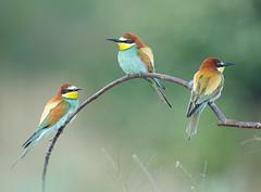 European Bee-eaters (Paul Miguel) Tags: beeeater birdphotographytour holiday birdingholiday serbia balkans summer wildlifephotographytrip