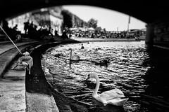 Not my friend (rvjak) Tags: seine river rivière fleuve noir blanc black white bw d750 nikon chien dog swan cygne paris france animal