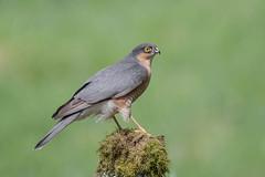 Sparrowhawk (Tris Enticknap) Tags: uk dumfriesgalloway nikond500 scotland sparrowhawk accipiternisus