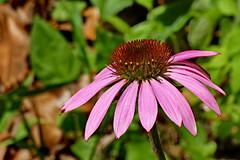 Echinacea purpurea 'Prairie Splendor' (Jim Atkins Sr) Tags: coneflower echinaceapurpurea prairiesplendor echinaceapurpureaprairiesplendor flower garden tryonpalace newbern panasonic fz80
