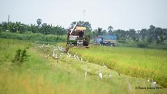 Rice Harvesting - Bang Chak (Steve Arena) Tags: 2017 thailandbirding2017 thailand bird birds birding nikon d750 phetchaburi petchaburi bangchakfields bangchak tambonbangchak bronzewingedjacana jacana metopidiusindicus