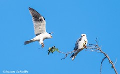 Food delivery (Photosuze) Tags: kites whitetailedkites fooddelivery pair couple two avians aves nature wildlife behavior flight flying voles predators prey