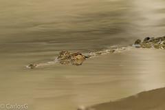 American crocodile (Crocodylus acutus) (Gogolac) Tags: 2018 americancrocodile aves bird birdphotography birdie birds canon7dmii crocodylusacutus fauna lagoenriquillo location primavera reptiles season year birdspot birdingrd birdsspotters republicadominicana