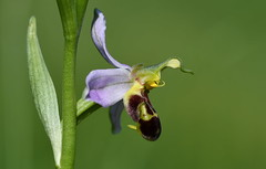 Bee Orchid (Ophrys apifera).. (festoon1) Tags: orchid beeorchid ophrysapifera flower plant