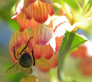 Honey bee on redvein enkianthus