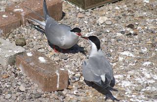 Terns breeding