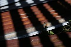 Sauvie Island (Tony Pulokas) Tags: sauvieisland oregon summer barn blackberry leaf tilt blur bokeh oakisland rust