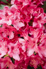 Rhododendrons [05.24.18] (Andrew H Wagner | AHWagner Photo) Tags: 5dmk3 5d3 5dmkiii 5dmarkiii 5dmark3 canon eos 35l 35mm f14 f14l bokeh dof flowers nature pink red outdoors explore exploration exploring summer md maryland rhododendrons rhododendron flower plant tree