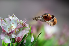 Don't Mess with Me!!! (Patricia Ware) Tags: 500mmf4lisusm allenshummingbird alstroemeria backyard birdsinflight california canon manhattanbeach multipleflash selasphorussasin tripod httppwarezenfoliocom ©2018patriciawareallrightsreserved specanimal