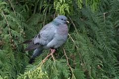 Stock Dove-130 (davidgardiner8) Tags: birds eastsussex garden pigeons stockdove
