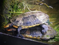 Intimate! (Carolyn Arzac) Tags: animals flickr drapeutah aquarium turtles t6i canon