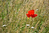 Comme un p'tit coquelicot (Excalibur67) Tags: nikon d750 sigma contemporary globalvision 100400f563dgoshsmc paysage landscape flowers fleurs prairie coquelicots poppies rouge red nature