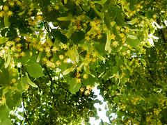 Lime tree in the French country. (Elise de Korte) Tags: fr france frankrijk ldf lafrance abeille abeilles apis arbre arbres bee bees bij bijen bloei bloeien bloesem blossom bomen boom campagne country flowering honeybee honingbij limetree linde linden platteland tilleul tree trees