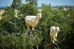 Tree Climbing Goats (scuba_dooba) Tags: morocco africa north city marrakesh argania spinosa argan goat climb climbing tree