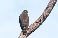 Rupornis magnirostris (mazama973) Tags: bird oiseau frenchguiana guyane guyanefrançaise accipitridae rupornismagnirostris buseàgrosbec roadsidehawk