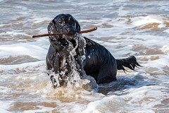 20180405 - Dinas Dinlle - 113755 (andyshotts) Tags: dinasdinlle wales unitedkingdom gb dogs luns bailey beach sea stick