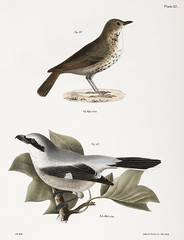 80. The Hermit Thrush (Merula solitaria) 81. The Northern Butcher-bird (Lanius septentrionalis illustration from Zoology of New york (1842 - 1844) by James Ellsworth De Kay (1792-1851). (Free Public Domain Illustrations by rawpixel) Tags: bird otherkeywords animal antique butcherbird cc0 creativecommon0 creativecommons0 dekay handdrawing handdrawn hermit hermitthrush illustration jamesedekay jamesellsworth jamesellsworthdekay laniusseptentrionalis merulasolitaria name old publicdomain sketch thrush vintage zoologyofnewyork zoologyofny