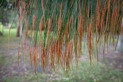 She oak in flower (aaron.wiggan) Tags: 2018 plant june australia fz1000 sheoak flowering native littlecabbagetreecreek queensland