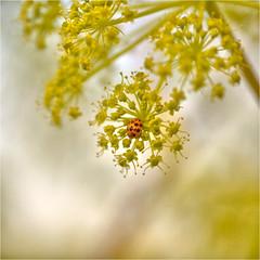 dots........... (atsjebosma) Tags: dots stippen macro plant bokeh atsjebosma summer zomer june juni 2018 insect thenetherlands exoot aziatisch lieveheersbeestje ladybird ngc coth5 npc