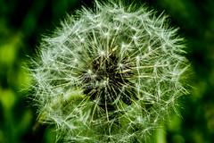 Dandelion (G_HOWDEN) Tags: