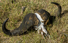 2017.06.23.2856 Skull (Brunswick Forge) Tags: 2017 safari grouped africa tanzania serengeti nature wildlife commented favorited