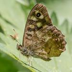 Speckled wood (Pararge aegeria) thumbnail