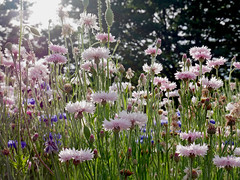Tachikawa (Stu.Brown) Tags: tachikawa showa kinen park tokyo japan flower