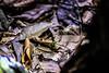 Staurois guttatus. Black spotted rock frog. Kuching (Phalinn Ooi) Tags: amphibian frog animal the7thinternationalborneanfrograce2018 frogs amphibians anurans wildlife animals flora fauna nature naturalist life jungle rainforest night trees outdoor adventure lundu matang kuching sarawak borneo malaysia asia explore travel wanderlust holiday tour jalan cuti food city town capital building architecture heritage rajahs cafe river landmark scenery beautiful landscape love people photography bokeh macro portrait camera dslr canon eos 5dm4 5dmarkiv mahathir anwar najib sky cloud shop lizard sexy woman babe