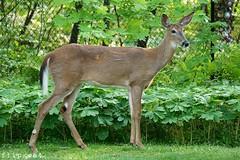 "Home On The Range (flipkeat) Tags: wildlife deer animals animal port credit nature awesome ""white tailed deer"" outdoors closeup wild beautiful ontario odocoileus virginianus"