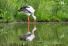 White Stork (Maria-H) Tags: burscough england unitedkingdom gb whitestork ciconiaciconia martinmere wwt lancashire uk olympus omdem1markii panasonic 100400 reflection