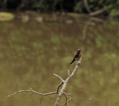 barn swallow (annapolis_rose) Tags: bird swallow barnswallow reifelbirdsanctuary delta greatervancouver