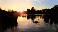 On Golden Pond (Michelle O'Connell Photography) Tags: knightswood summersunset skyporn sunset park knightswoodpark knightswoodpond glasgow swan reflection michelleoconnellphotography