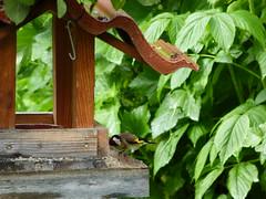 20180601Steiermark Garten Oberzeiring Vogel1v3 Vogelhaus AngelikaMy (rerednaw_at) Tags: steiermark garten oberzeiring vogel vogelhaus angelikamy