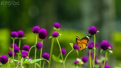 Nectar Collector (darkskg) Tags: nectar collector beautiful butterfly purple flower garden nikon nikond3400 naturephotography naturelover lovetoclick photography photoshopcc2015 cameraraw ishotraw