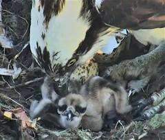 Osprey chicks at Hog Island 2018-06-03 05-21-08-226 (selro4me) Tags: ospreycams osprey raptor birdofprey fisheagle fishhawk nest eggs steve rachel island maine bailey hogisland audubon bremen usa