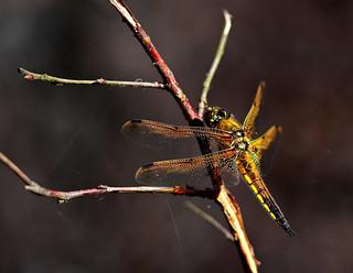 Four-spotted Chaser (Libellula quadrimaclata)