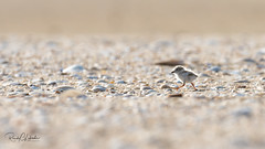 Piping Plover | 2018 - 19 (RGL_Photography) Tags: birding birds birdwatching charadriusmelodus endangeredspecies gardenstate gatewaynationalrecreationarea jerseyshore monmouthcounty mothernature newjersey nikonafs600mmf4gedvr nikond500 ornithology pipingplover plover sandyhook shorebirds us unitedstates wildlife wildlifephotography hatchling chick
