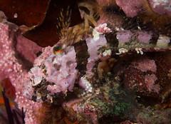 ML024631.jpg (alwayslaurenj) Tags: corallinesculpin montereycarmel pointlobos
