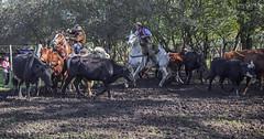 Aparte Campero (Marina-Inamar) Tags: gaucho apartecampero buenosaires argentina zarate caballos vacas ganado campo jinetes hombres barones