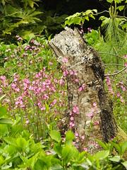 Campion And Stump (Cornishcarolin. Stupid busy!! xx) Tags: cornwall httpswwwnationaltrustorguktrelissick flowers campion wildplants treestump nature