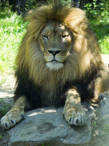 Akron Zoo 06-06-2014 - Lion 10
