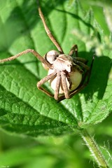 Nursery web spider carrying its egg sac around! (Nina_Ali) Tags: spider nature nurserywebspiderandeggsac ninaali nina ali
