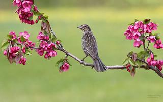 Carouge à épaulettes (femelle) - Red-winged blackbird