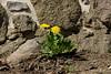Mauerblümchen (Sockenhummel) Tags: groszieten grosziethen löwenzahn dandelion butterblume mauer wall mauerblümchen fuj xt10 strasenrand