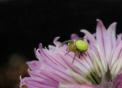 Cucumber Green Orb Spider.(Araniella Cucurbitina) (farrertracy) Tags: spider orbspider green flower arachnid summer pink