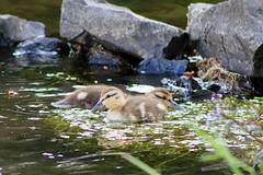 Snack break (briannalhendricks) Tags: ngc canonrebelt6 canonrebel canon lake pnw ducklings ducks baby