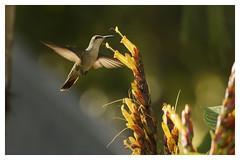 Emeraude d'Hispaniola - Chlorostilbon swainsonii- Hispaniolan Emerald (Pierre Crétu) Tags: émeraudedhispaniola chlorostilbonswainsonii hispaniolanemerald colibri apodiformes trochilidés républiquedominicaine