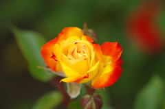 Time of the rose (Baubec Izzet) Tags: baubecizzet pentax bokeh flower nature spring