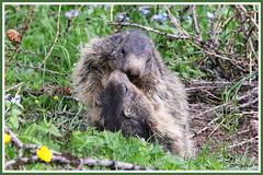Marmottes 180606-27-RP (paul.vetter) Tags: animal rongeur marmotte mammifère sciuridé marmotamarmota groundhog murmeltier marmota