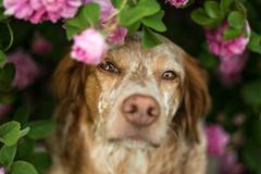 Rosen Resli (colorgraVie) Tags: altglas bellesansflatterie bokeh bretone englischersetter hund nikond7200 pancolar1850ausjena pointer rose schã¤rfentiefe tier vintagelens englishsetter dog animal brittany schärfentiefe